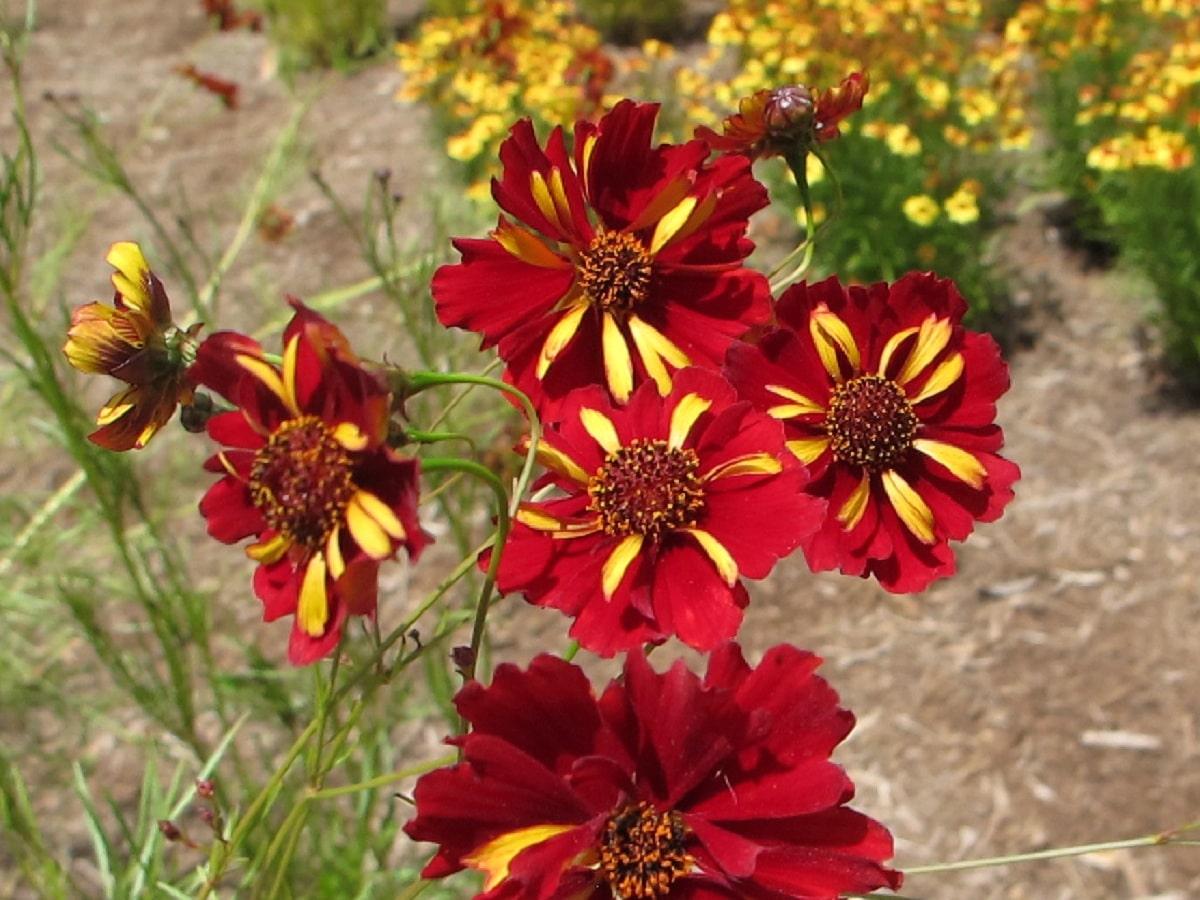 flores de la coreopsis tinctoria