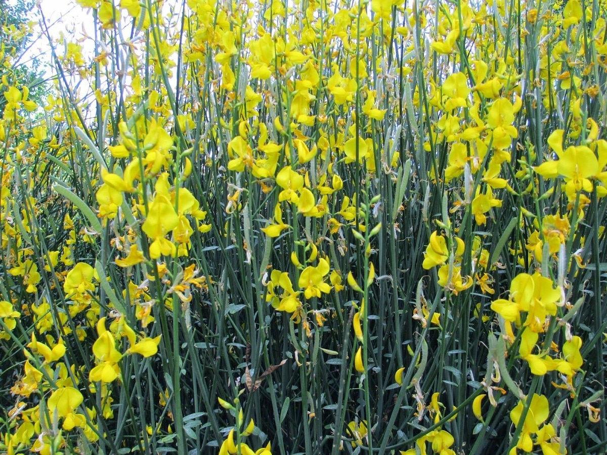 flores de la genista cinerea
