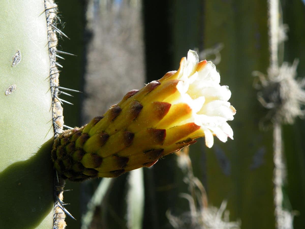 flores del cactus organo
