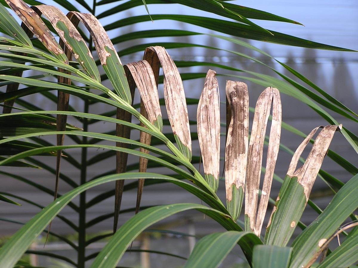 Las hojas secas de kentia pueden deberse al sol