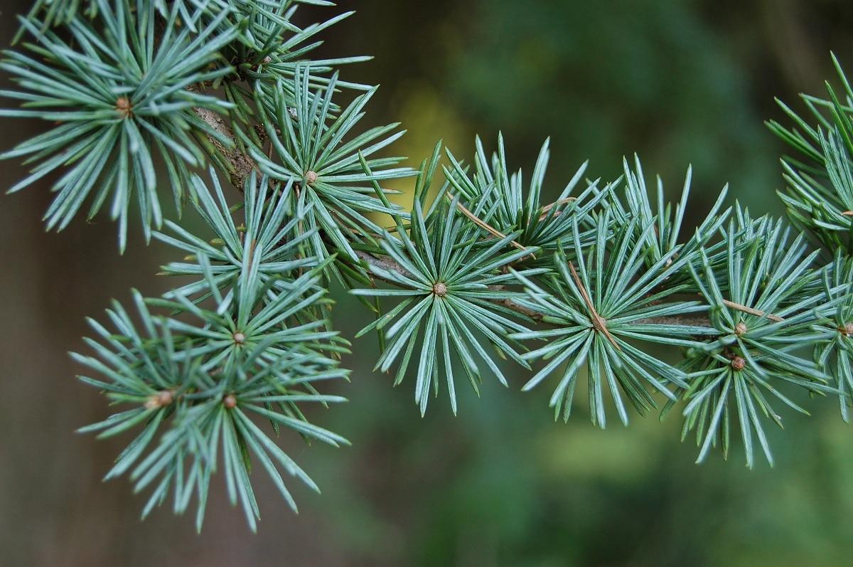 hojas aciculares de las coniferas