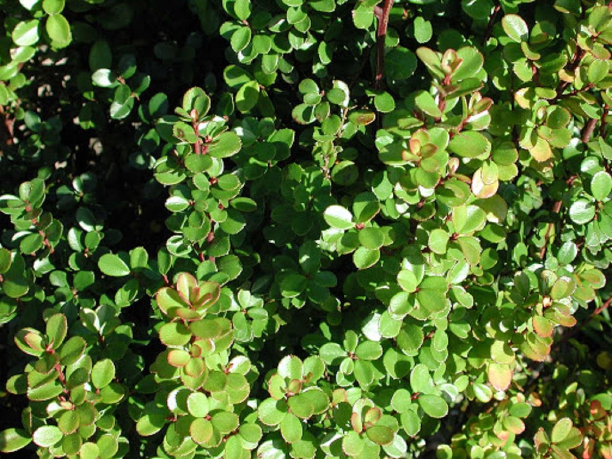 hojas del Myrsine africana