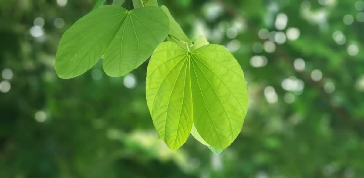 Las hojas tienen dos partes bien diferenciadas, el haz y el envés