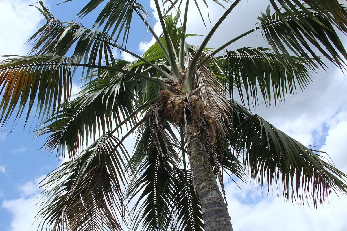 La kentia es una palmera excepcional