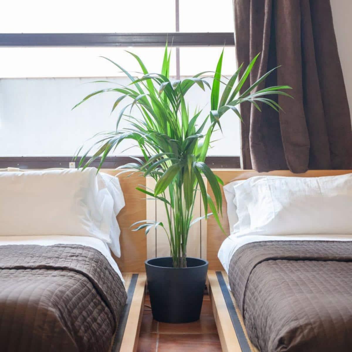 La kentia es una palmera que vive bien en interior