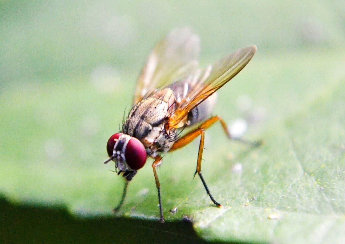 La mosca de la fruta afecta a los cítricos