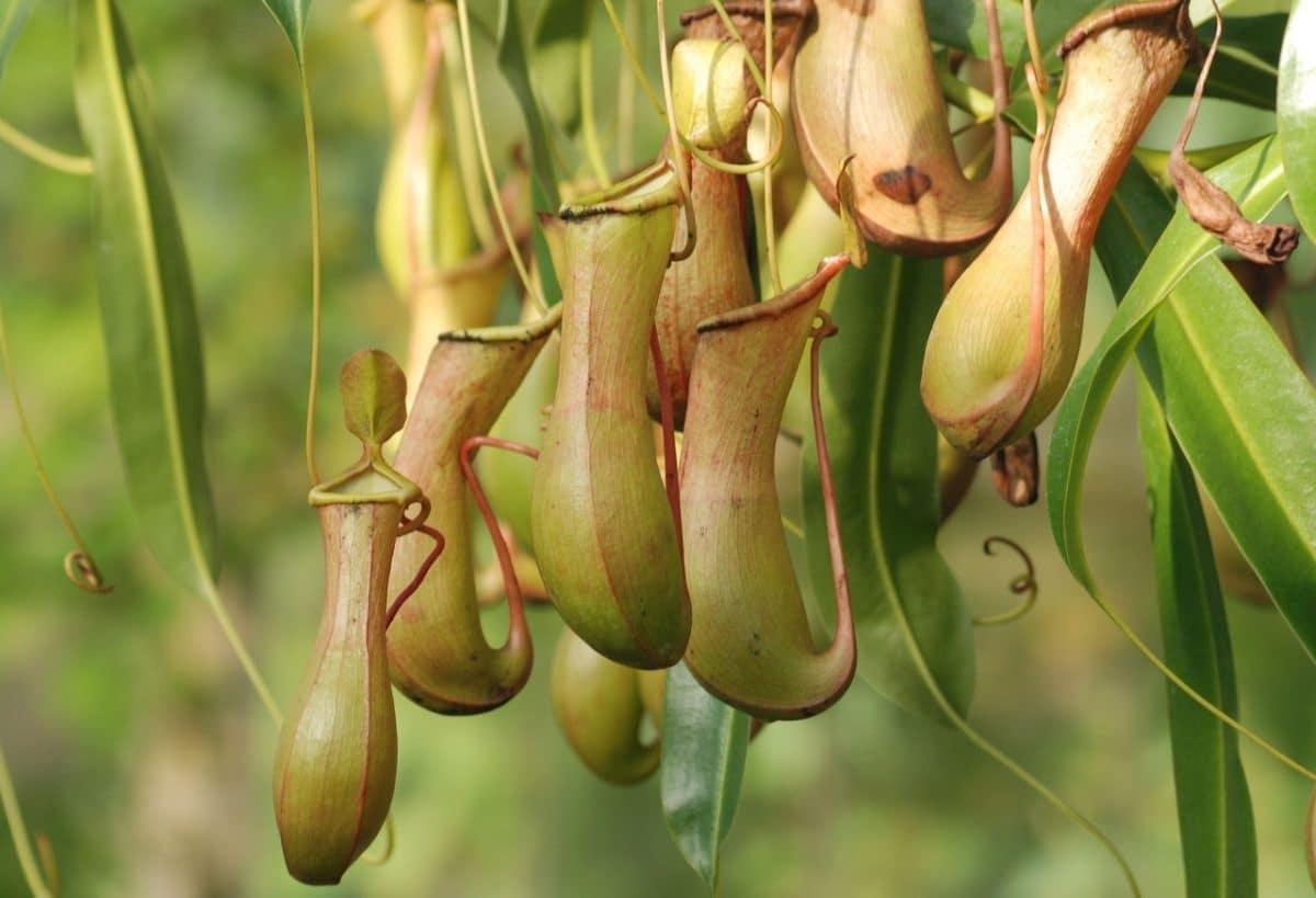 Las plantas carnívoras crecen lentamente