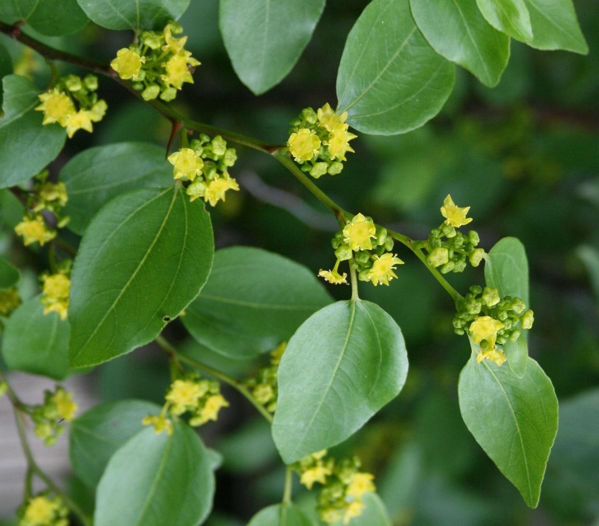 paliurus spina-christi hojas