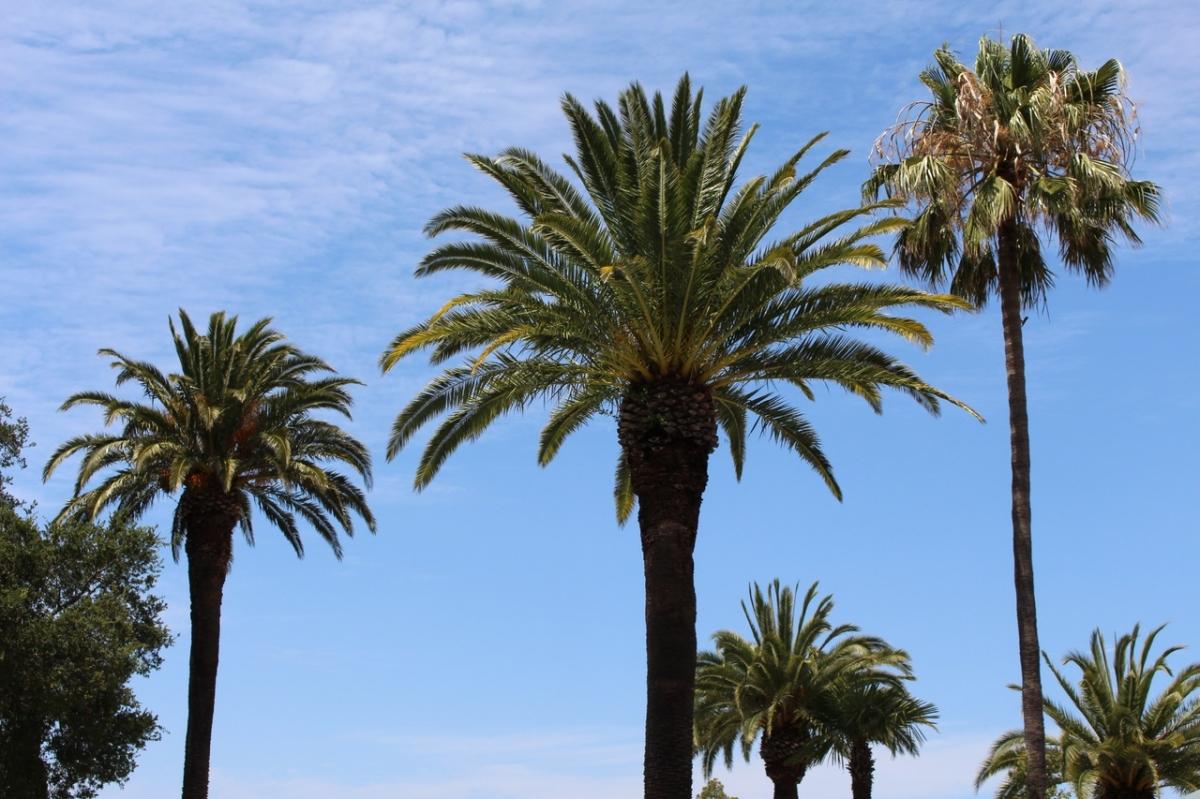 Las palmeras crecen hacia arriba