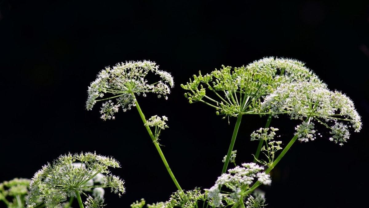 La cicuta es una planta herbácea
