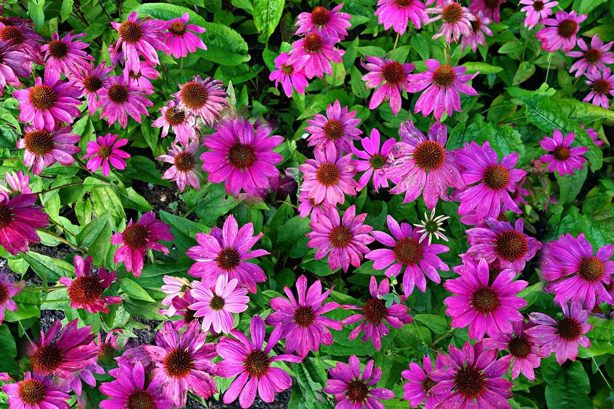 Se consideran plantas tintóreas todas las especies que contienen altas concentraciones de principios colorantes