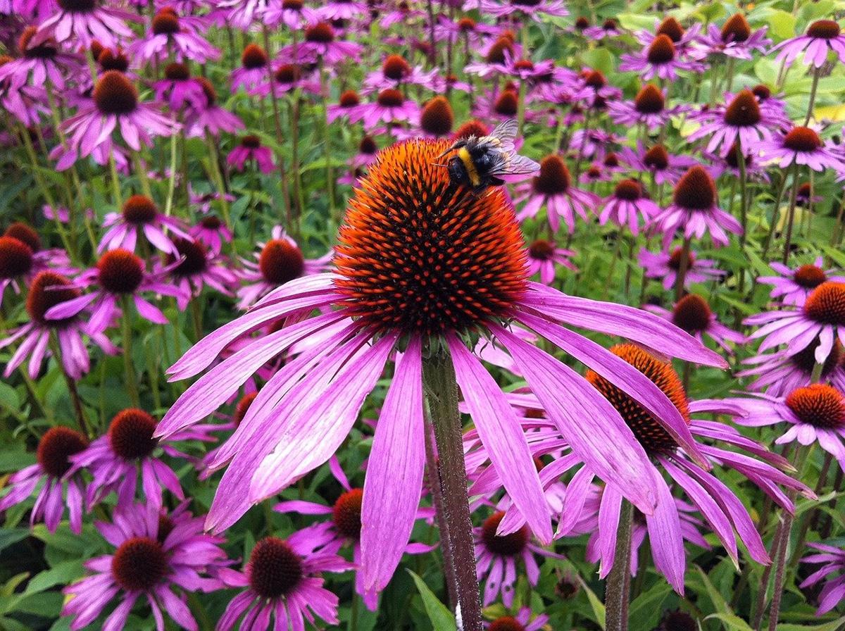 De la Echinacea purpurea se obtiene el color verde