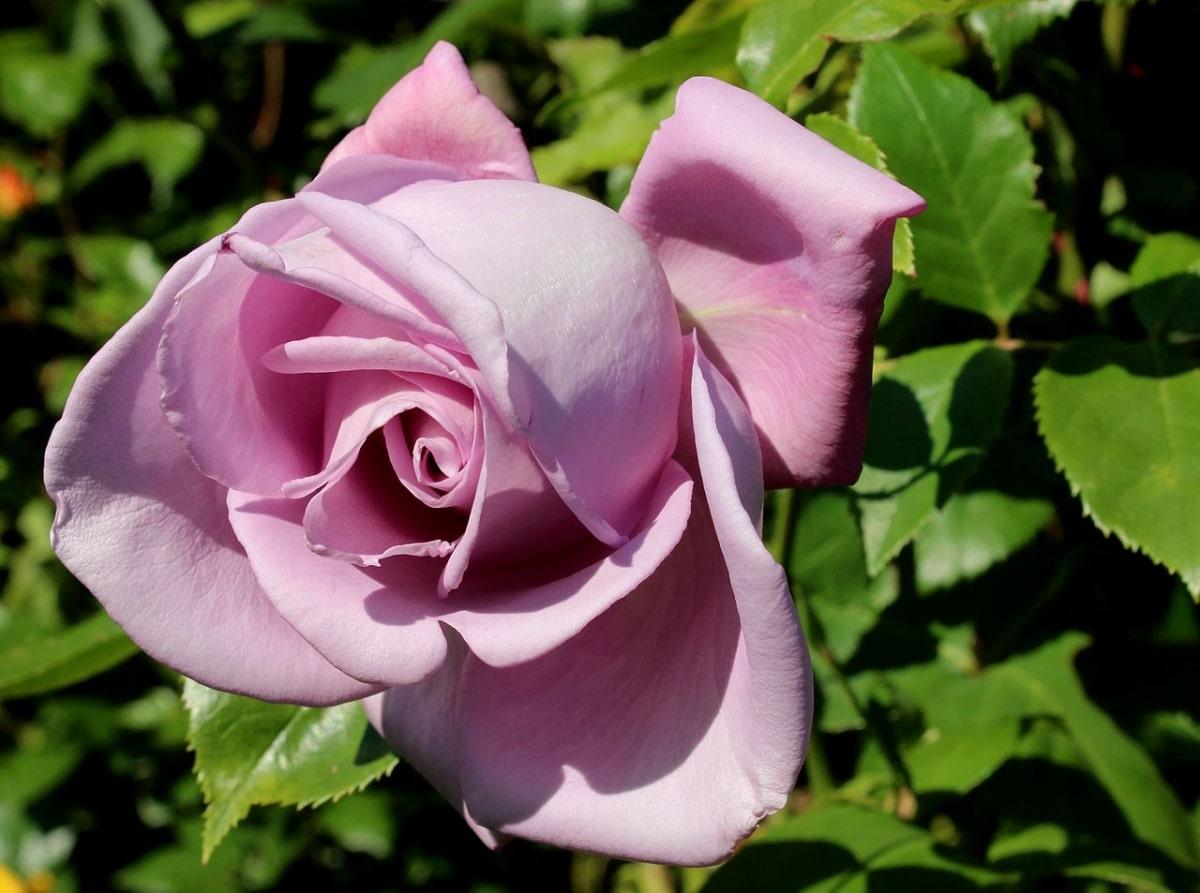 Los rosales aromáticos quedan genial en un jardín aromático