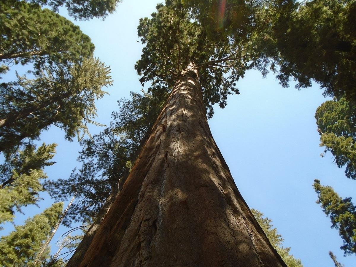 La secuoya gigante es un árbol muy grande