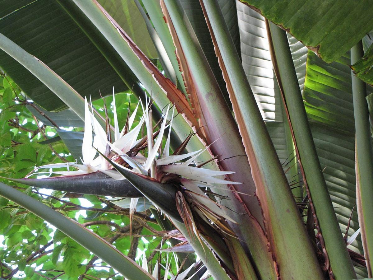 La Strelitzia es una planta de exterior muy rústica