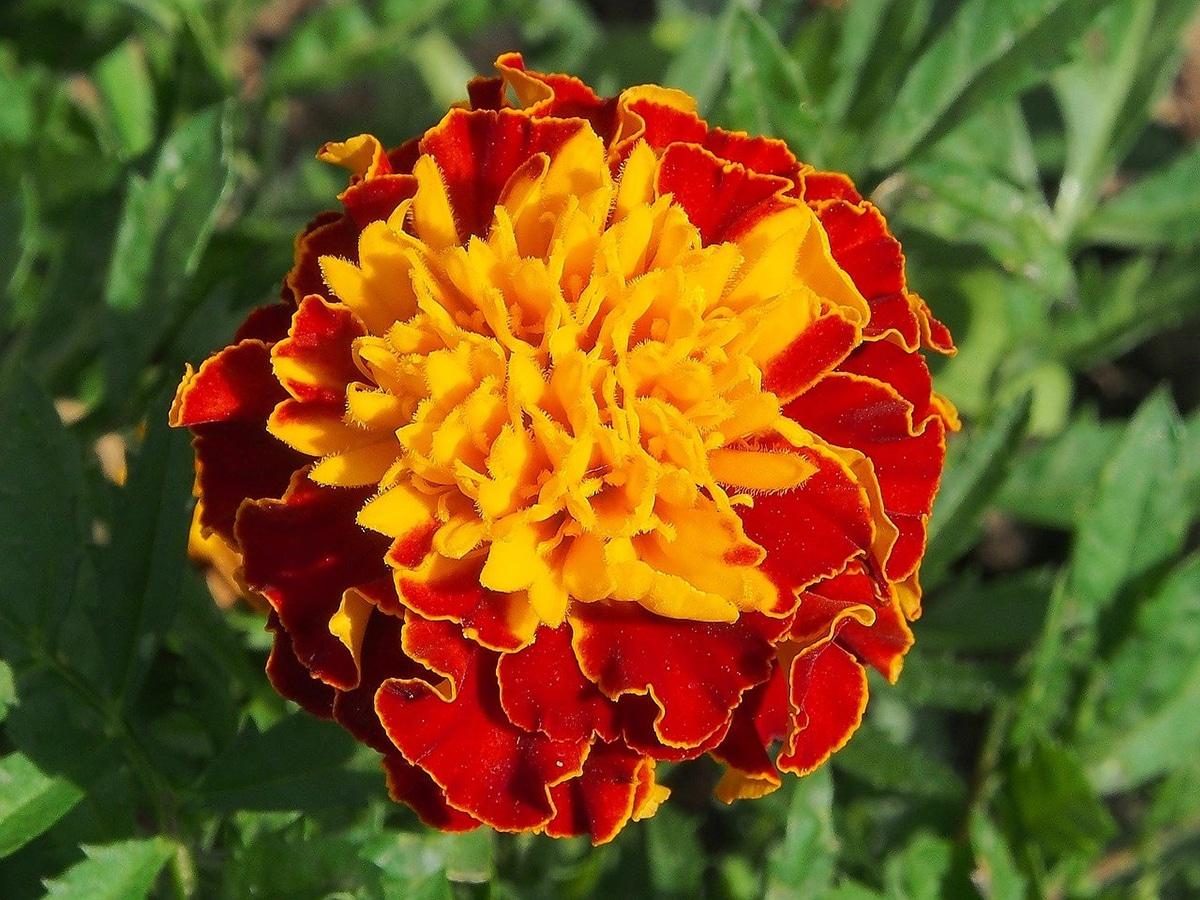 Una de las plantas tintóreas que nos da el color amarilla es la Tagetes patula