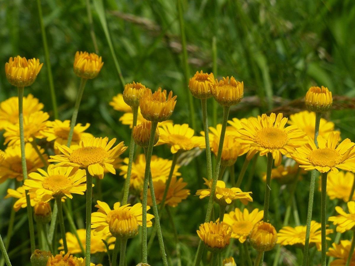 Una de las plantas tintóreas es la manzanilla de tines