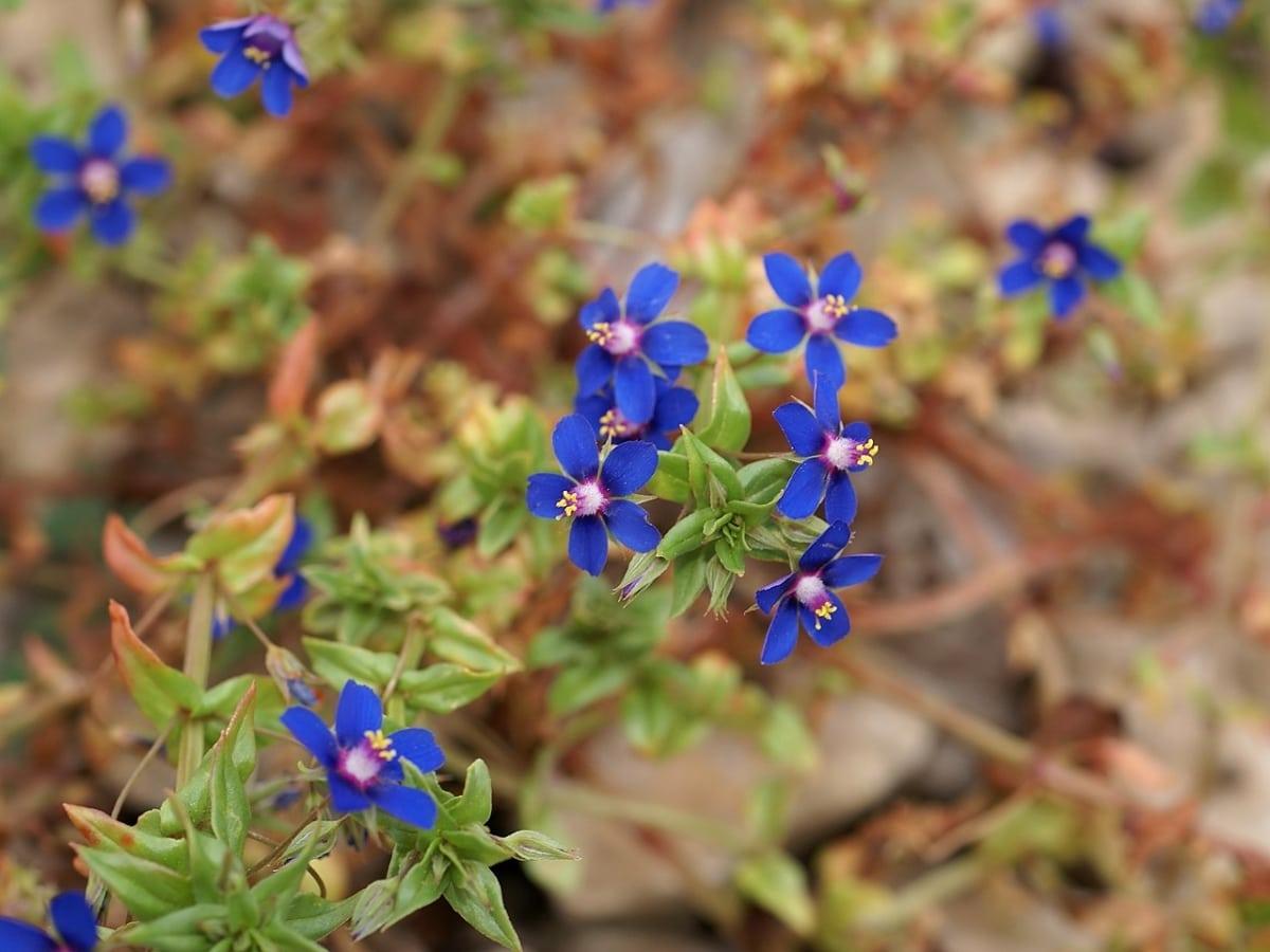 El murrón es una planta silvestre de flores azules