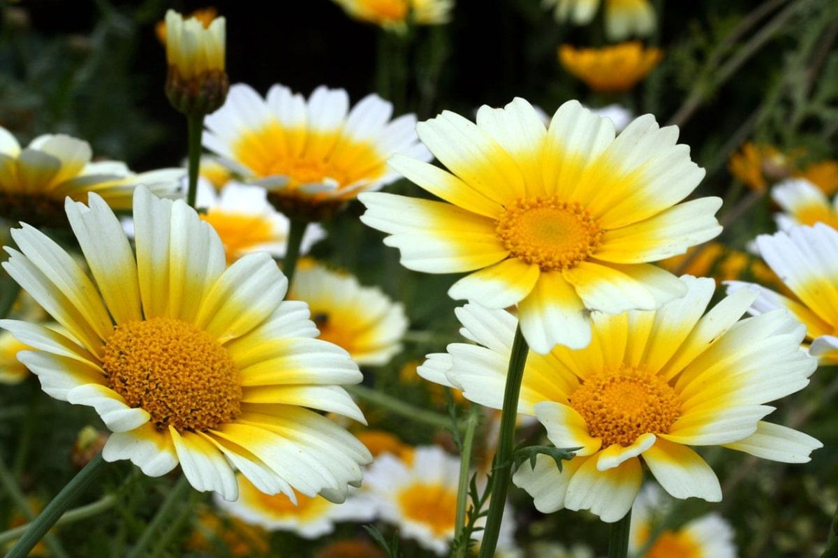 El Chrysanthemum coronarium es una planta silvestre