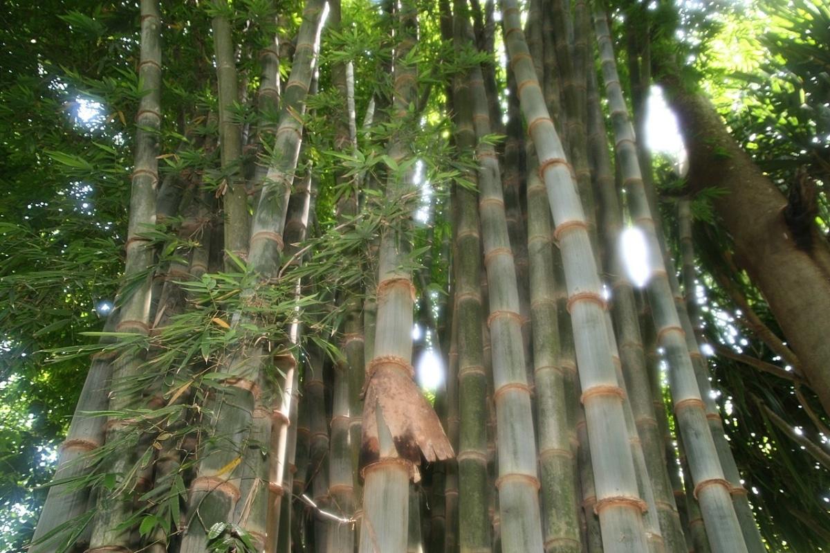 Los Dendrocalamus son bambúes muy grandes