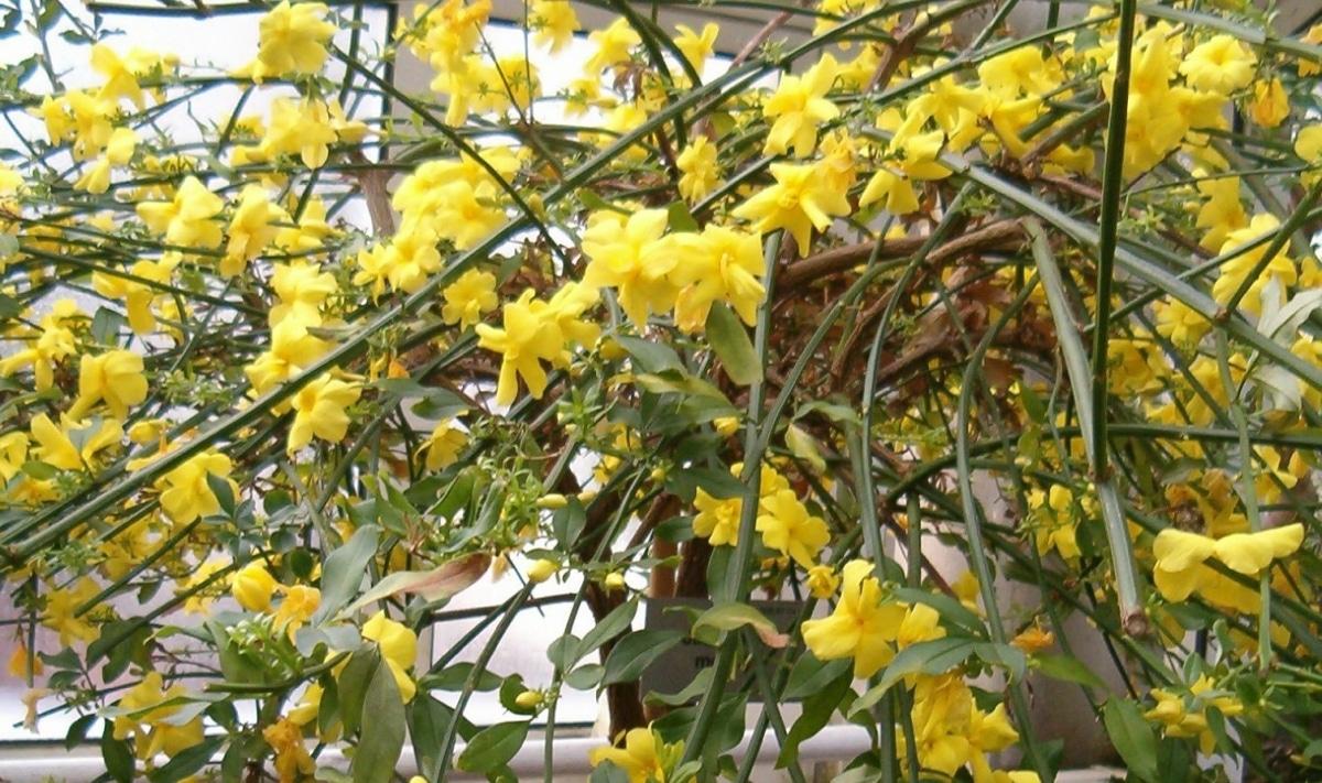 El Jasminum mesnyi tiene flores amarillas