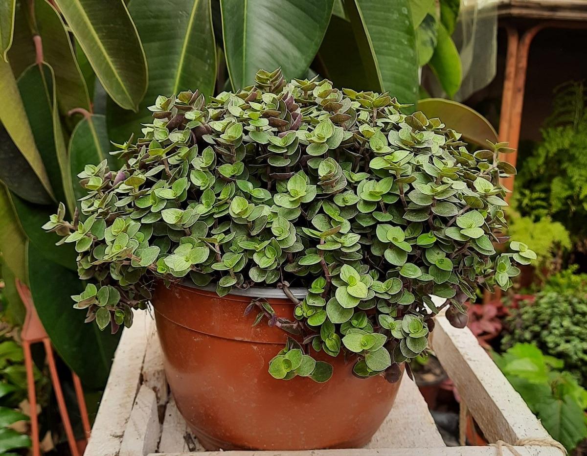 Planta suculenta colgante