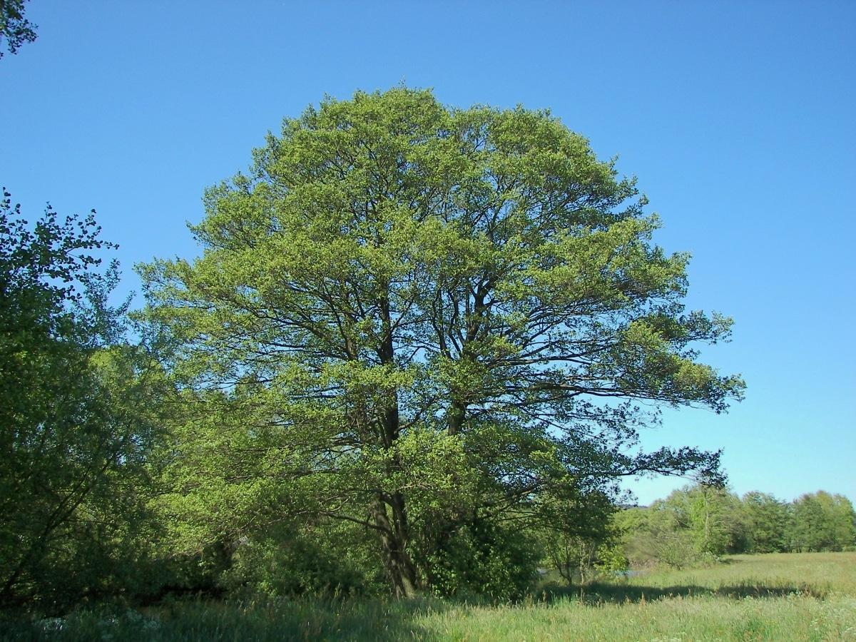 El aliso es un árbol de hoja caduca