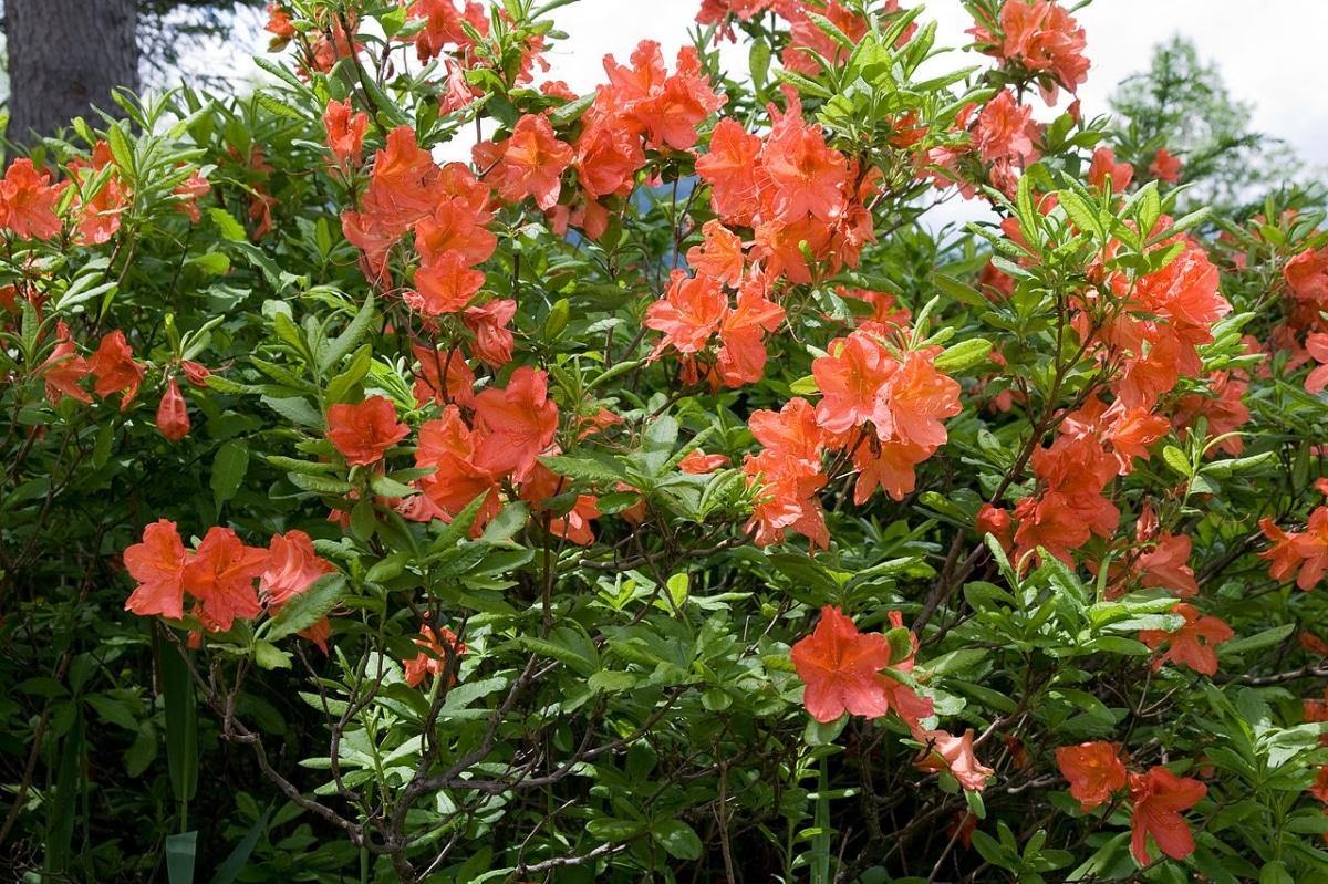 La azalea japonesa es un arbusto muy florífero de Japón