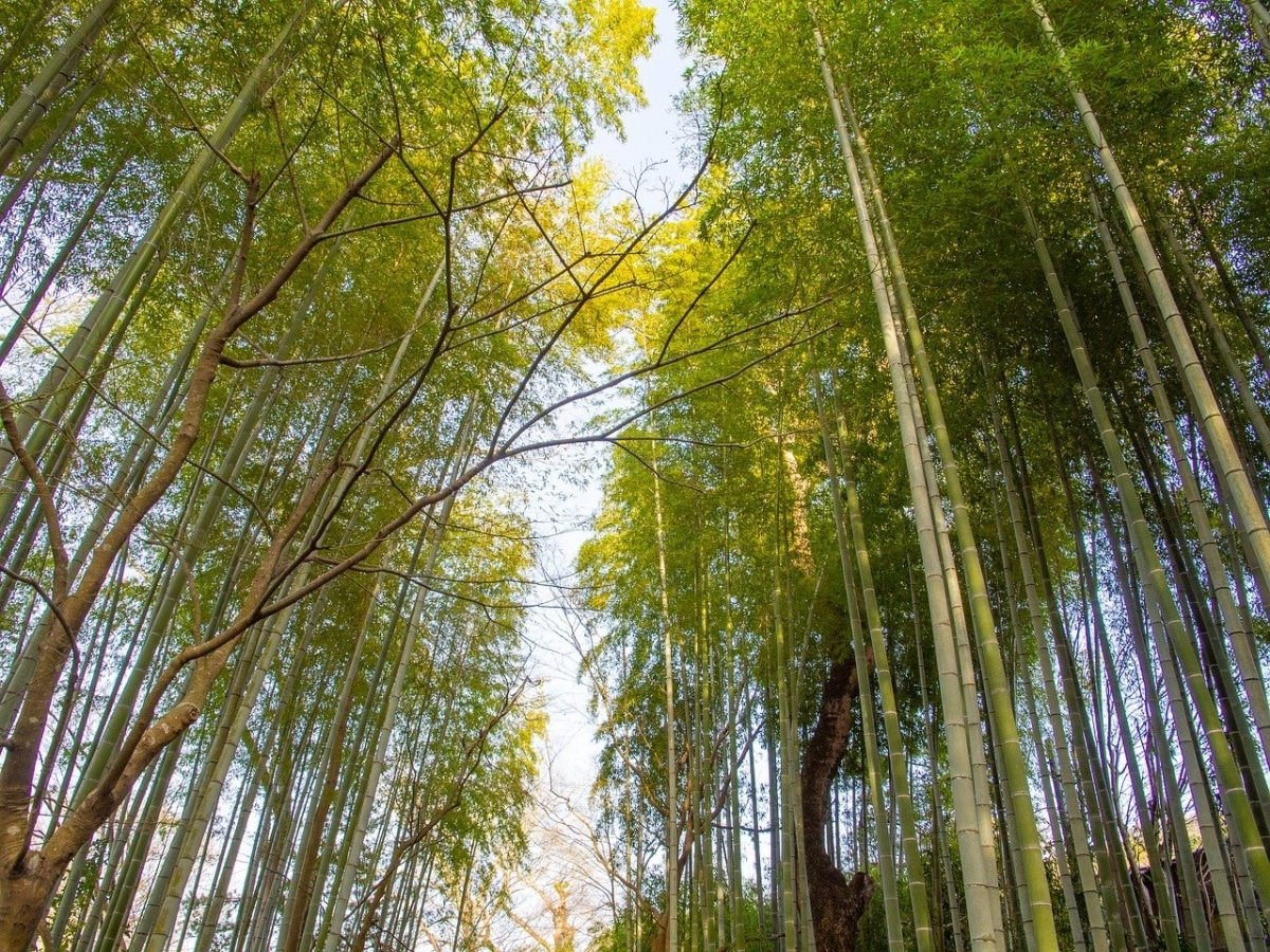 Es posible encontrar bosque de bambú en Japón