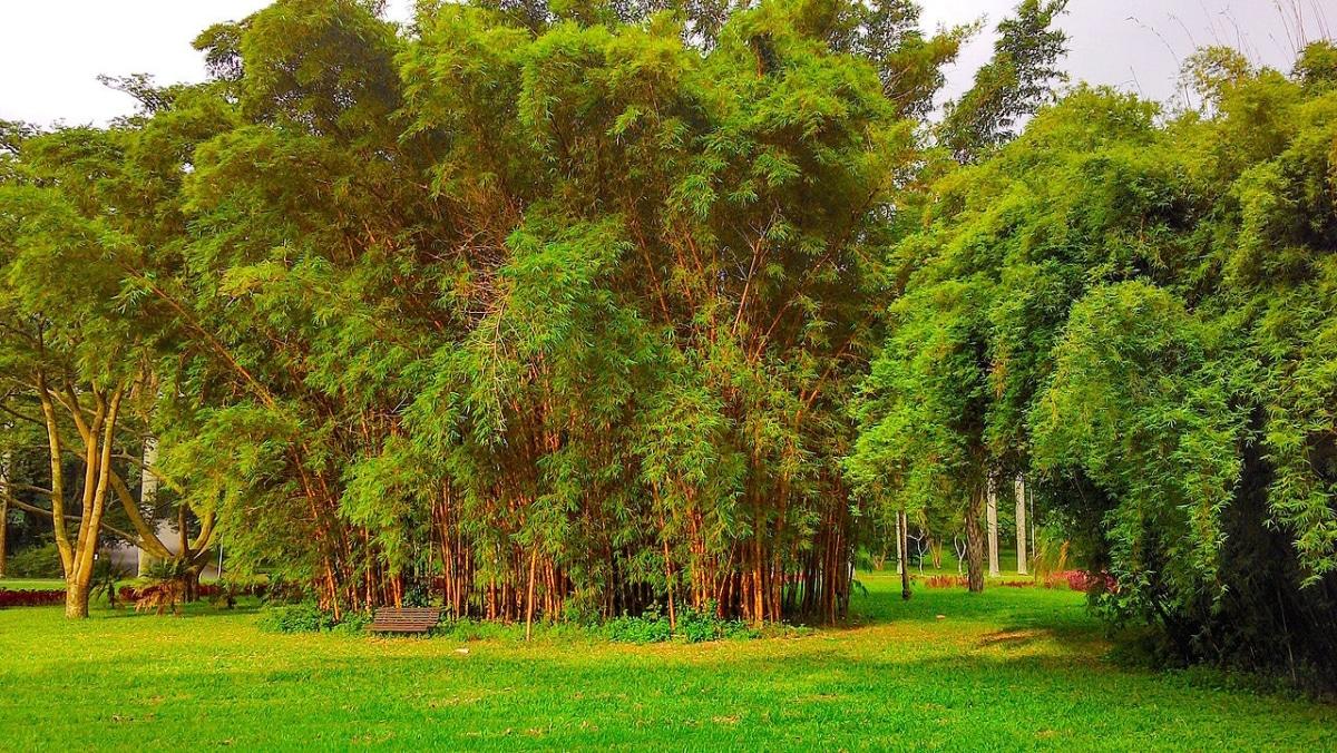 La Bambusa es un bambú fácilmente controlable