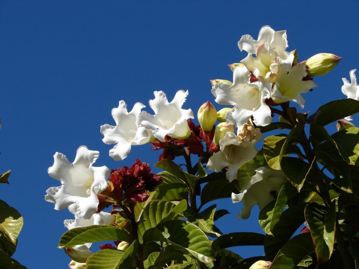 La beaumontia es una bonita trepadora de exterior
