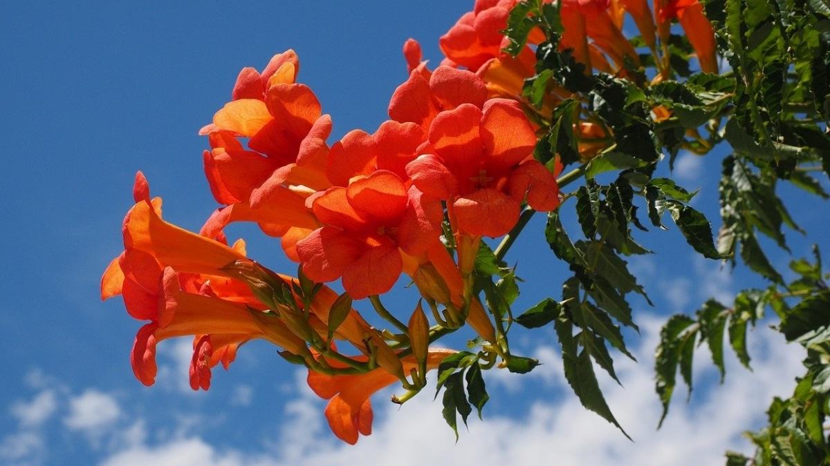 La bignonia roja es una planta caducifolia