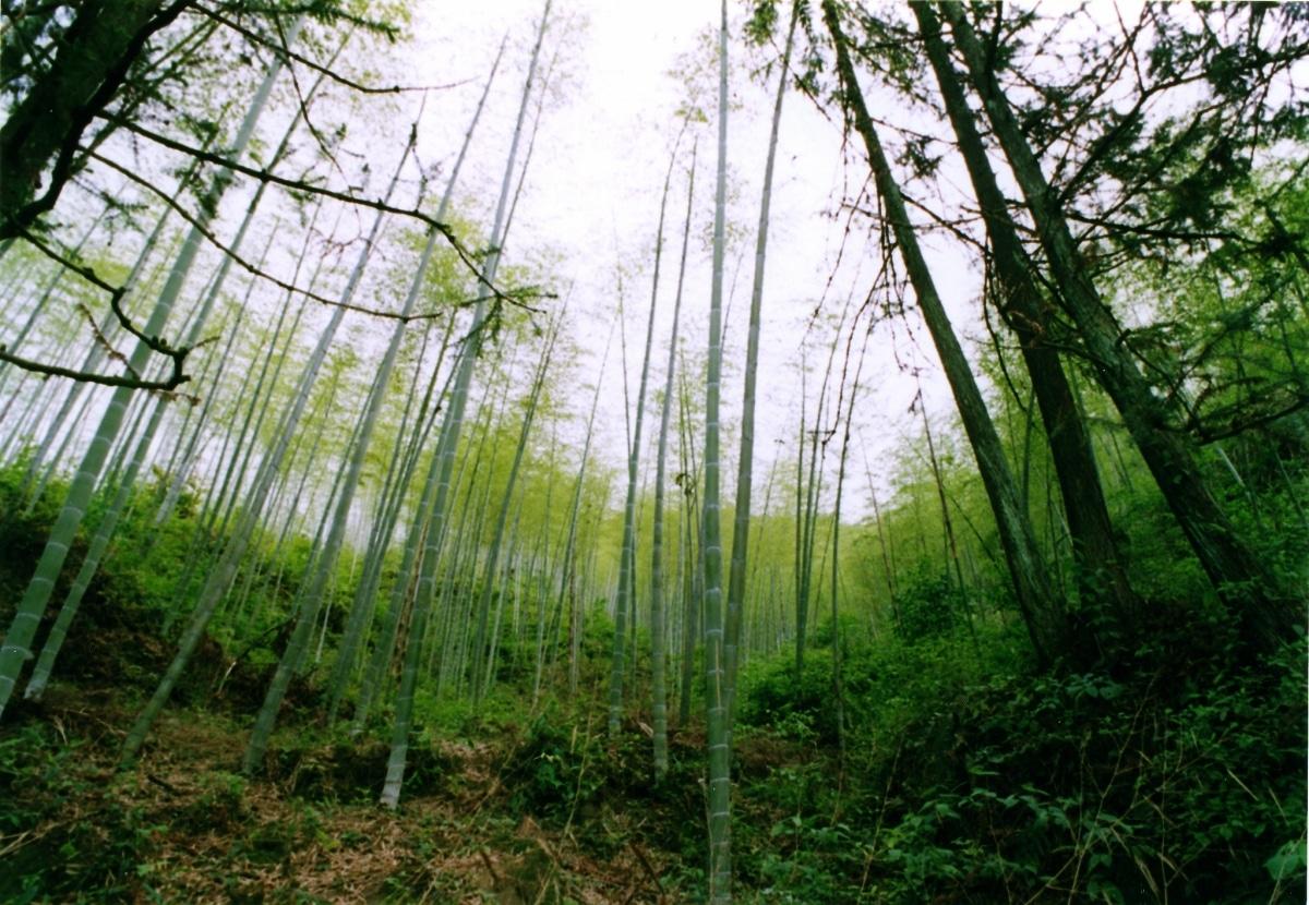 El bosque de bambú en China es muy extenso
