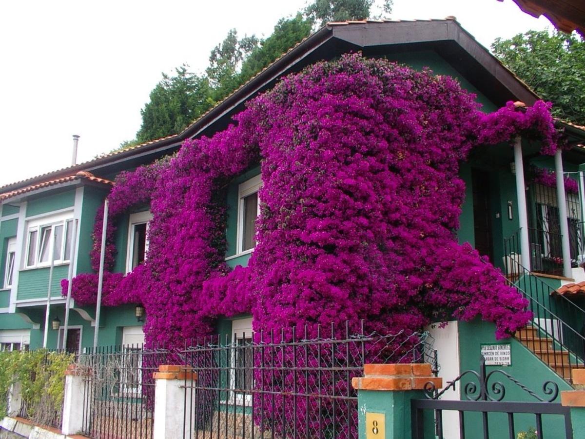 La buganvilla es una trepadora que florece en primavera