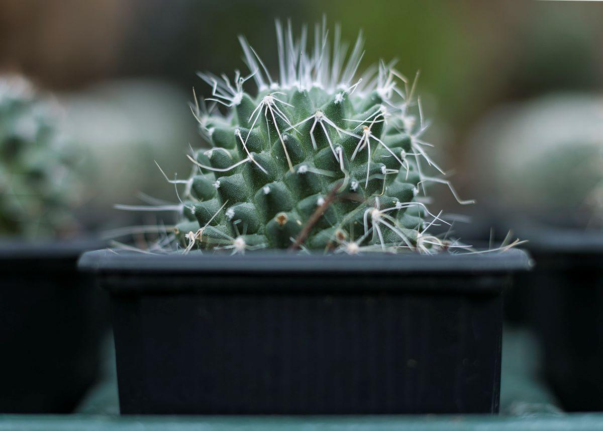 Los cactus en macetas han de trasplantarse de vez en cuando