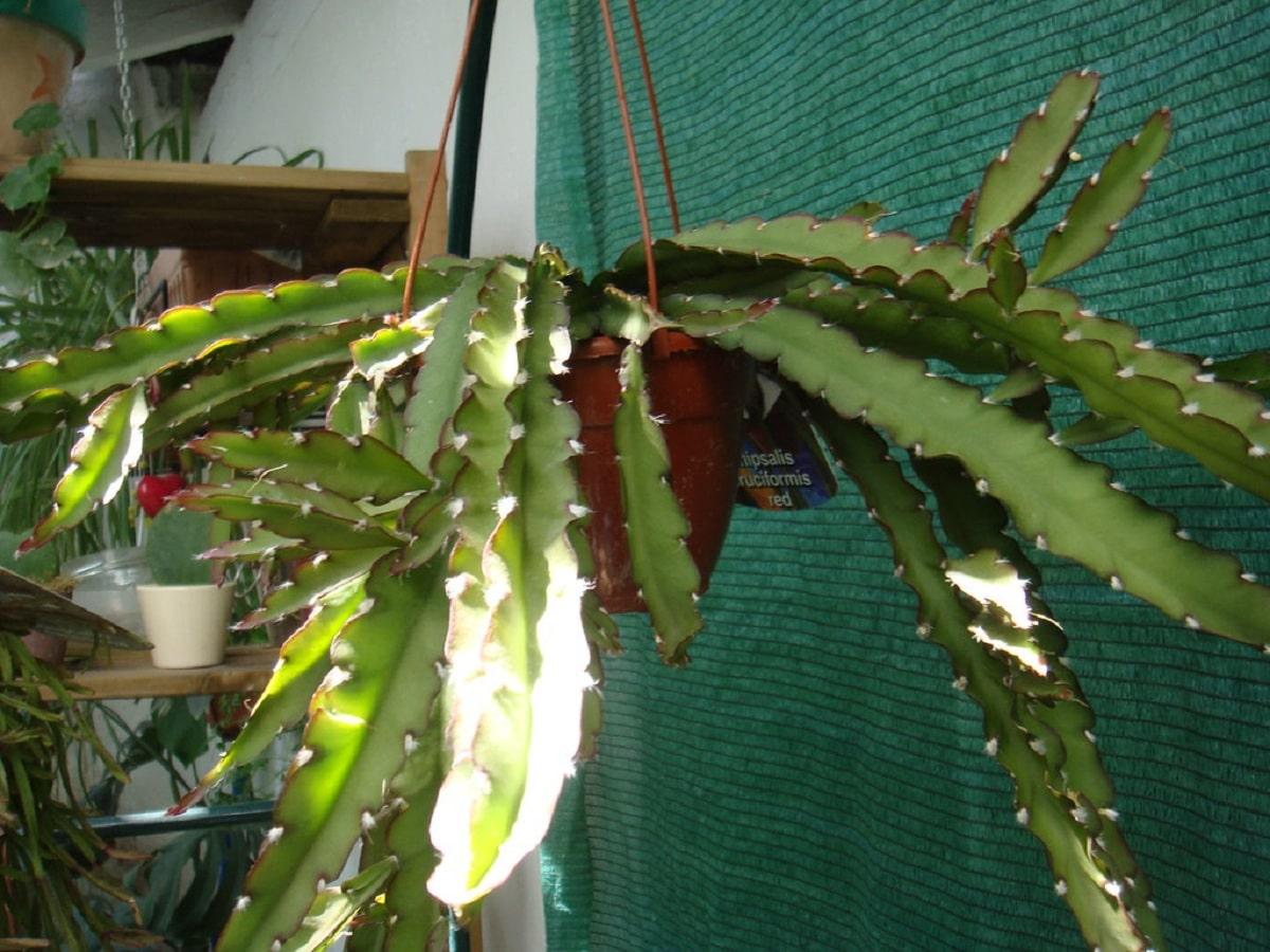 cactus tropical en maceta colgante