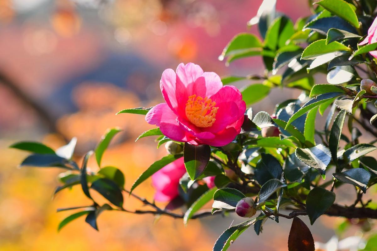 Hay muchas plantas japonesas ornamentales