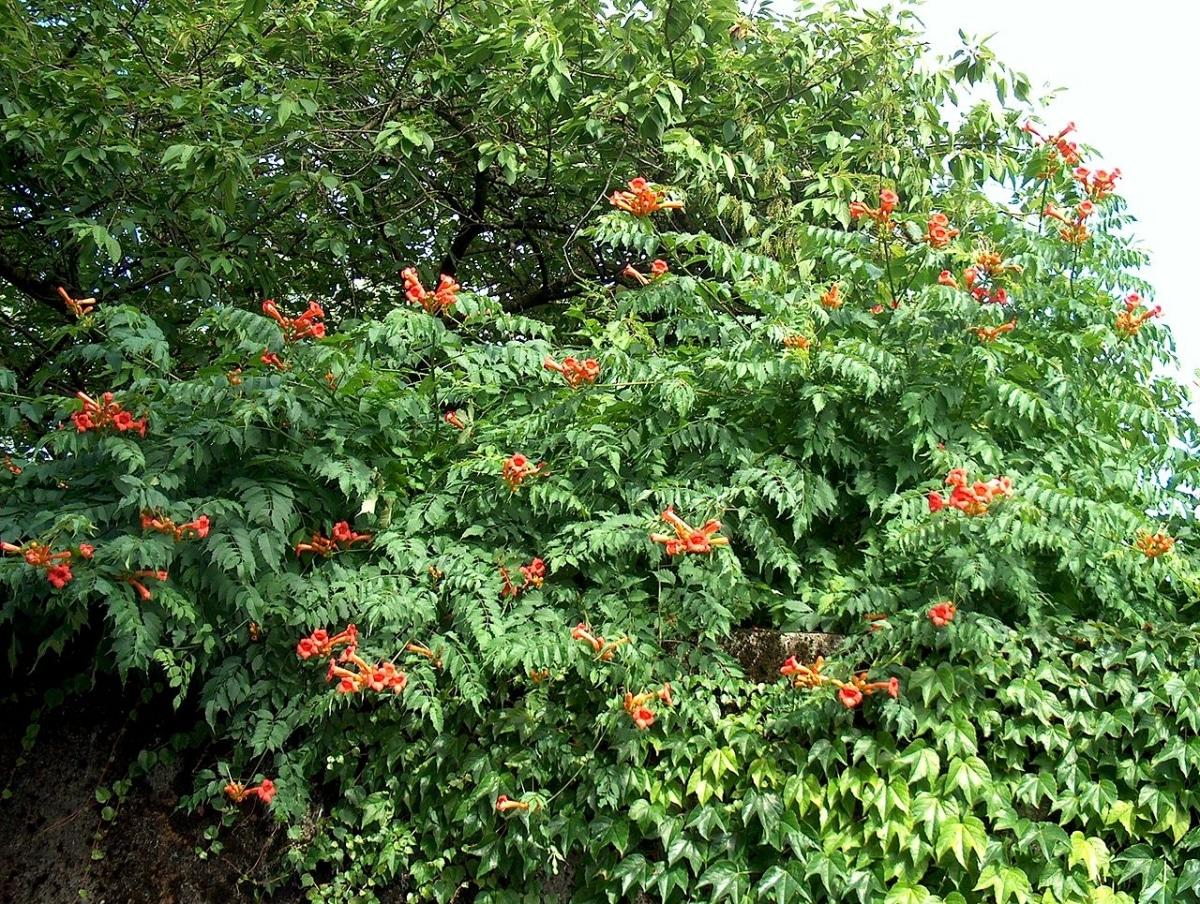 Las campsis son trepadoras caducifolias que tienen flores rojas
