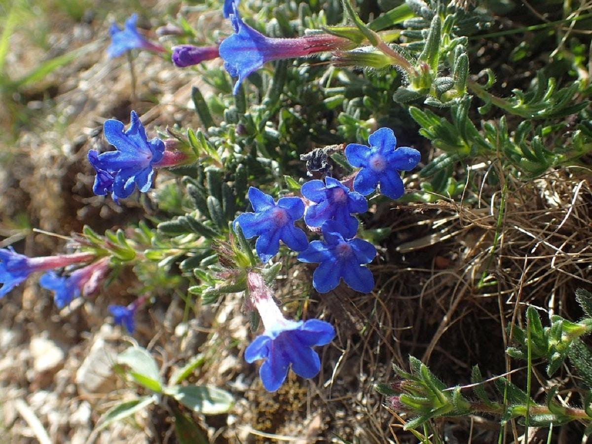 carrasquilla azul