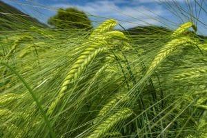 La cebada es un cultivo de secano