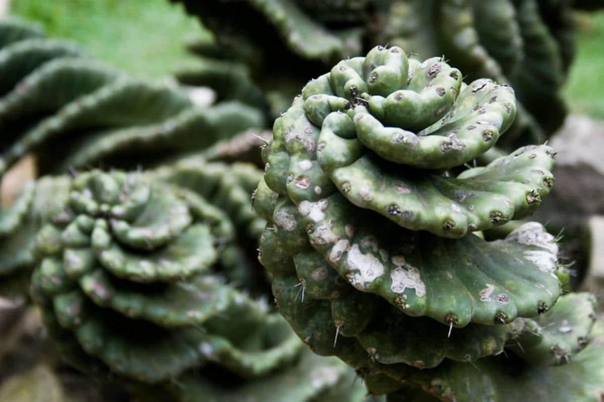 El cactus espiral es una maravilla natural