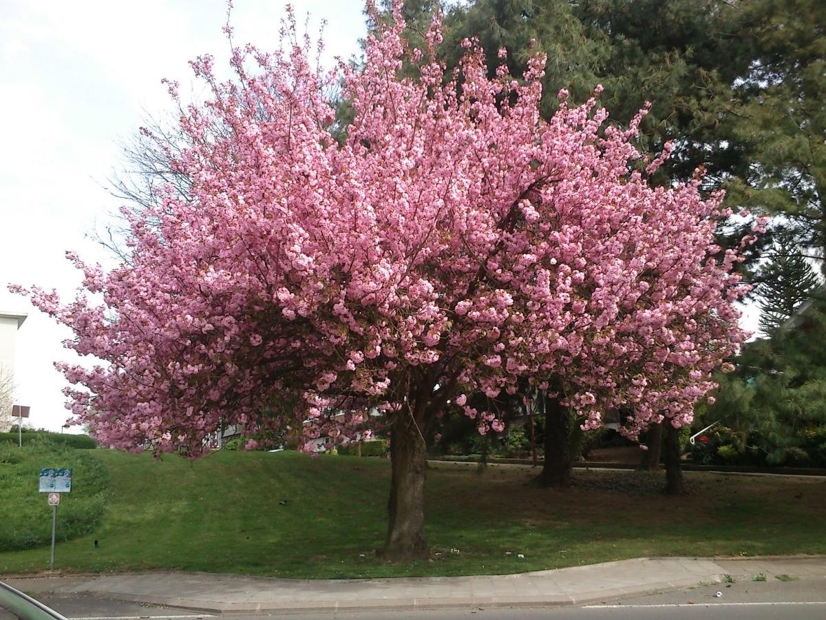 El cerezo japonés es un árbol de flores rosas