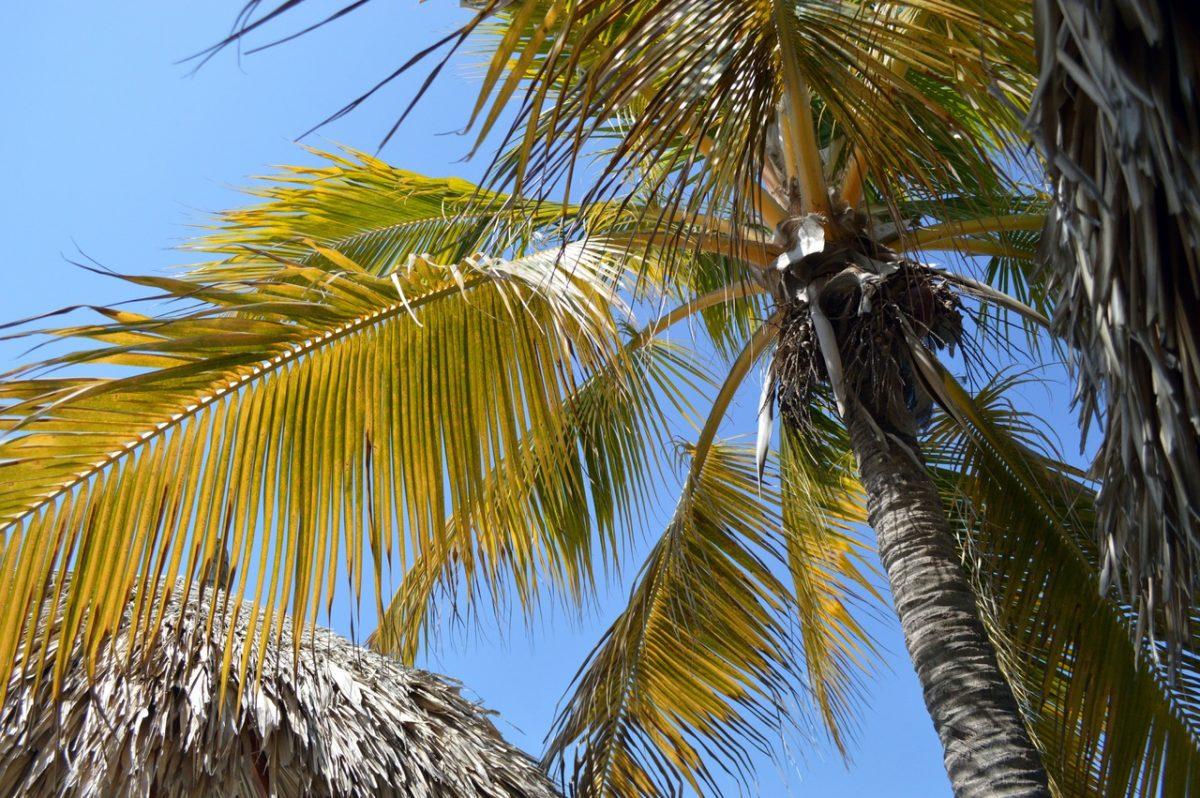 Las palmeras pueden tener las hojas amarillas por varios motivos
