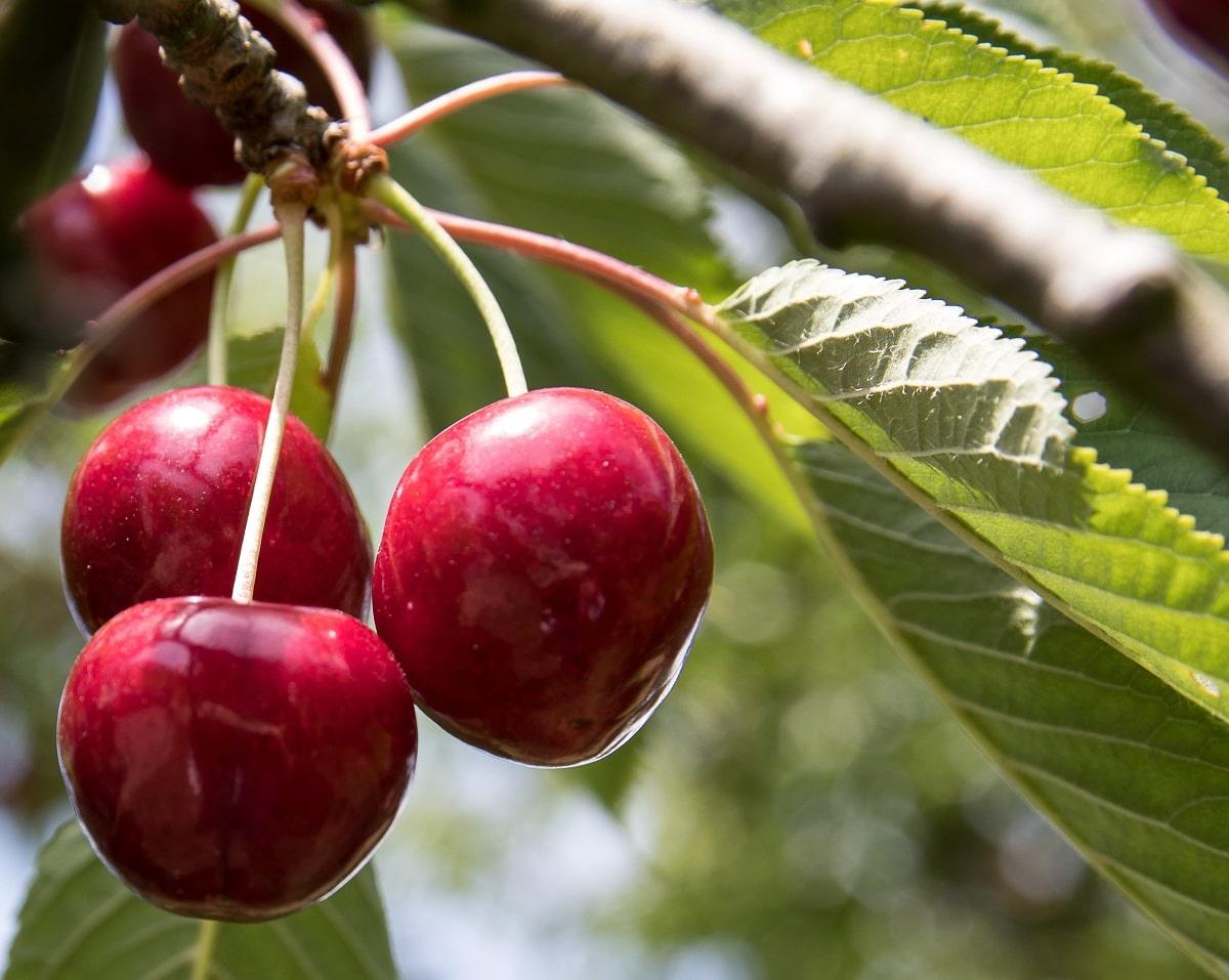 enfermedades del cerezo