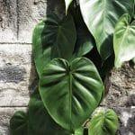 El filodendron es una planta que se reproduce fácil por esquejes