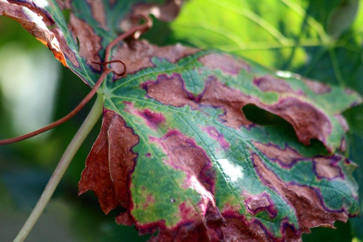 La fitopatología es la ciencia que estudia las enfermedades de las plantas