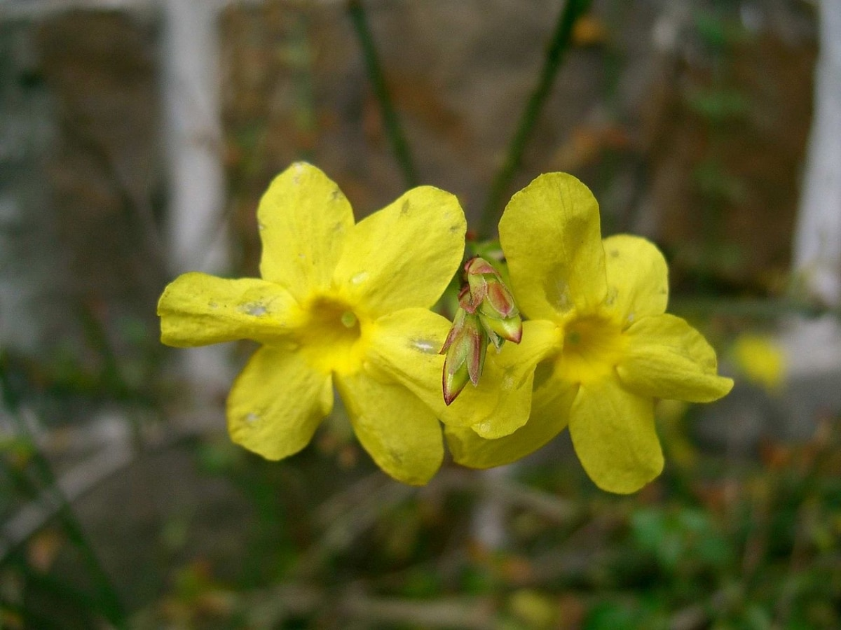 El jazmín amarillo tiene flores de color amarillo