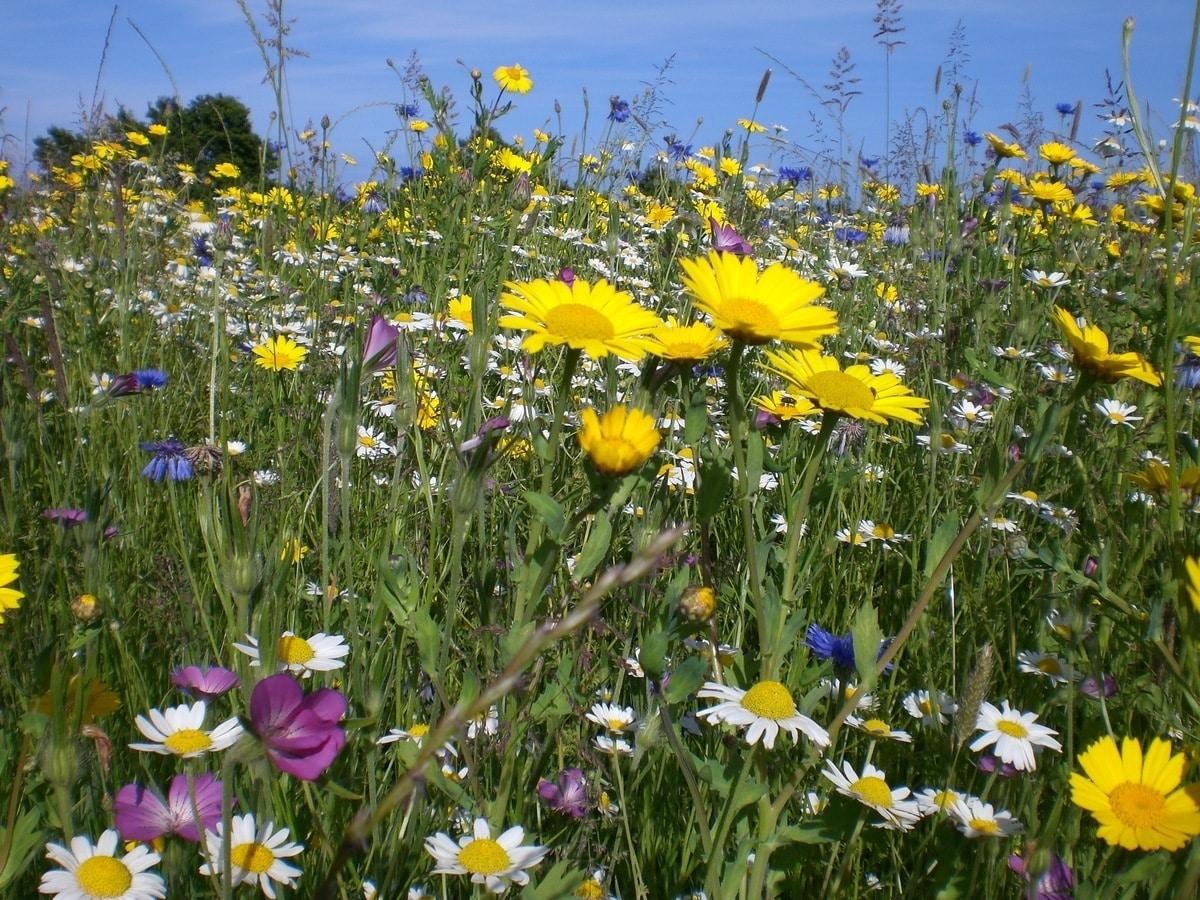 Hay muchas flores silvestres interesantes para el jardín