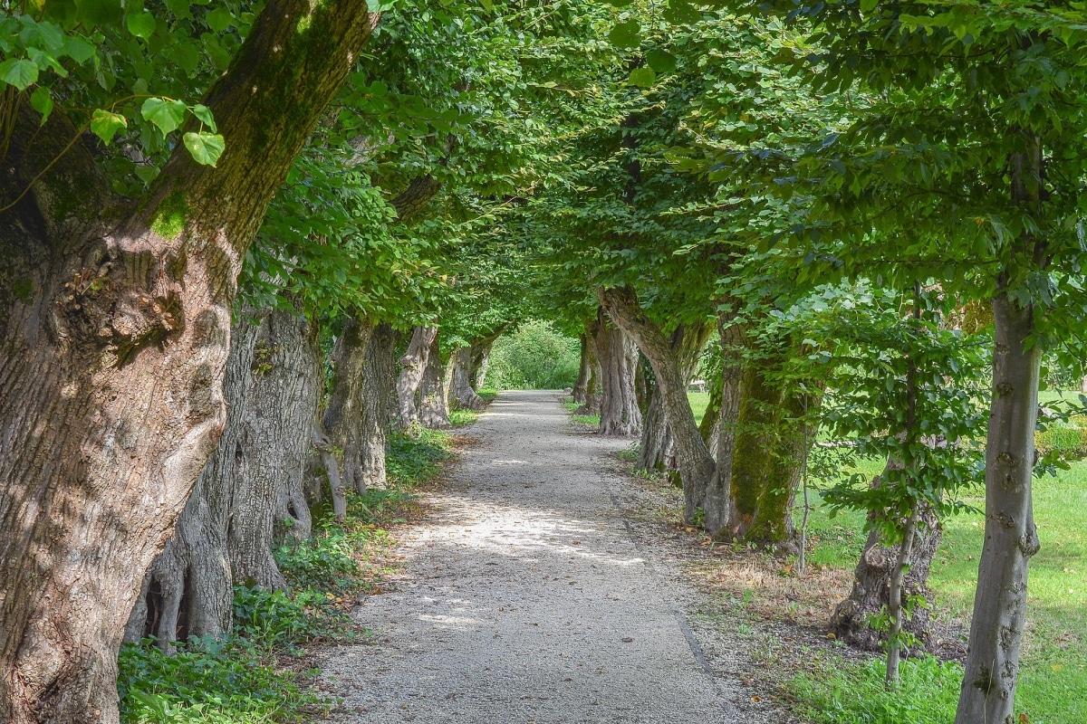 El haya es un árbol que vive en Japón