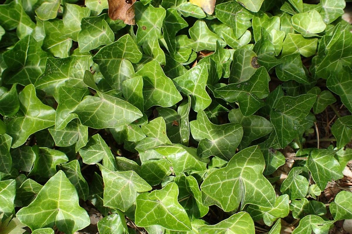 La Hiedra es una trepadora de hoja perenne